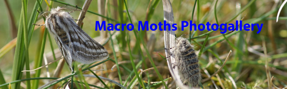 Maco Moths of the Outer Hebrides Photogallery