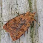 Barred Chestnut