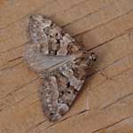 Chestnut-coloured Carpet