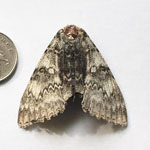 Clifden Nonpareil