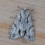Grey Dagger - Outer Hebrides Moths