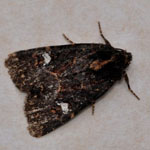 Lesser Common Rustic
