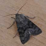 Northern Deep-brown Dart