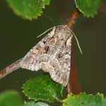 Pale-shouldered Brocade