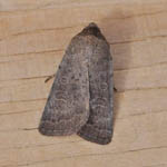 Rustic - Outer Hebrides Moths