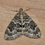Spruce Carpet - Outer Hebrides Moths