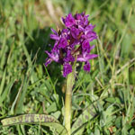 Pugsley's Marsh Orchid
