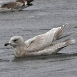 2nd winter Kumlien's Gull and Iceland Gull