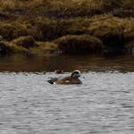 drake American Wigeon, North Uist