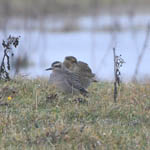 juvenile American Golden Plover, South Uist