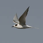 2nd summer Arctic Tern
