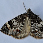 Arran Carpet - Outer Hebrides Moths