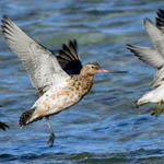 Bar-tailed Godwit and Knot