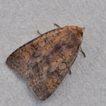 Barred Chestnut - Outer Hebrides Moths