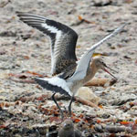 Black-tailed Godwit - Outer Hebrides Birds