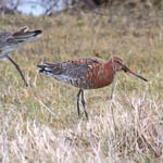 Black-tailed Godwits - Outer Hebrides Birds