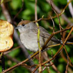 female Blackcap, South Uist