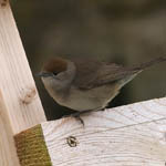 female Blackcap, Lewis