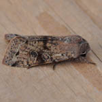 Clouded Drab - Outer Hebrides Moths