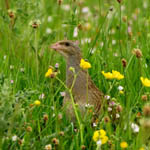 Corncrake, North Uist