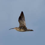Curlew - Outer Hebrides Birds