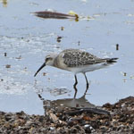 Curlew Sandpiper - South Uist