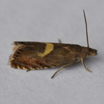 Dichrorampha petiverella - Outer Hebrides Moths