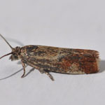 Epinotia cruciana - Outer Hebrides Moths
