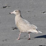 juvenile Glaucous Gull, North Uist