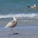 juvenile Glaucous Gull with Great Black-backed Gull