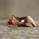Gold Spangle - Outer Hebrides moths