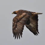 Golden Eagle, South Uist