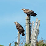 Golden Eagles - Outer Hebrides Birds