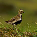 Golden Plover, Outer Hebrides
