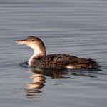 Great Northern Diver,winter plumage