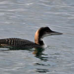 Great Northern Diver, Outer Hebrides
