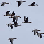 Greenland White-fronted Geese - Outer Hebrides Birds