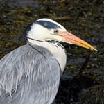 Grey Heron - Outer Hebrides Birds