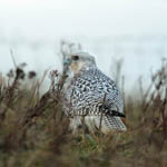 Gyrfalcon South Uist