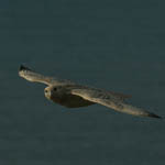 Gyr Falcon, Toe Head, Harris