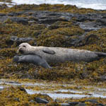 Harbour Seal and pup