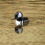 Hooded Merganser, St. Kilda