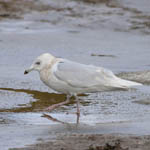3rd winter Iceland Gull