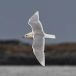 adult Iceland Gull, South Uist