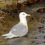 adult Iceland Gull