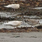 juvenile Iceland Gulls with Herring Gull, Berneray