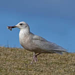 juvenile / 1st winter Iceland Gull, North Uist