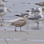 juvenile Iceland Gull, North Bay, South Uist