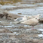 Iceland Gulls with Glaucous Gull