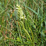 Irish Lady's Tresses - Outer Hebrides Flowers